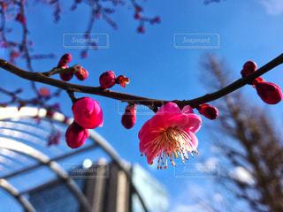 咲き始める梅の花 - No.1011077