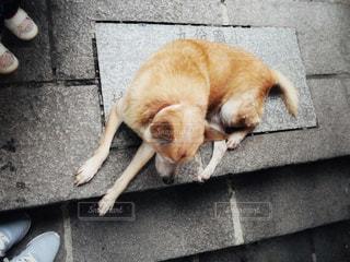 階段手前で横になっている犬の写真・画像素材[1173233]