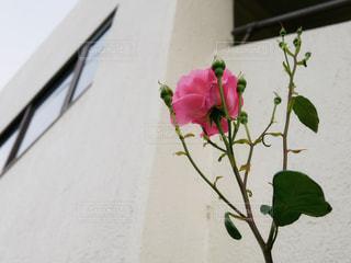 建物脇に咲く一輪の花の写真・画像素材[1183848]