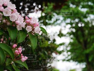 カルミアの花と蕾の写真・画像素材[1194016]