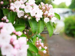 カルミアの花の写真・画像素材[1194019]