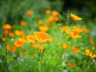 オレンジ色のポピー - No.1199522