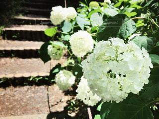 紫陽花の写真・画像素材[1235575]