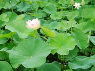 ハスの花の写真・画像素材[1286283]
