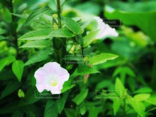 グリーンにひっそりと咲く昼顔の写真・画像素材[1286286]