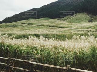 仙石原のすすき野原の写真・画像素材[1387501]