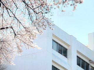 校舎とサクラの写真・画像素材[1960683]