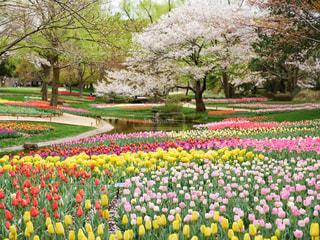 チューリップと桜の写真・画像素材[2031821]