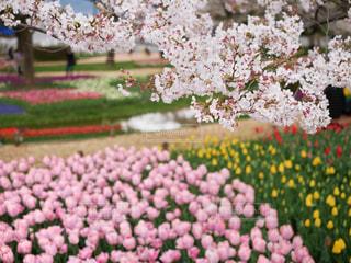 桜&チューリップのピンクの世界の写真・画像素材[2040872]