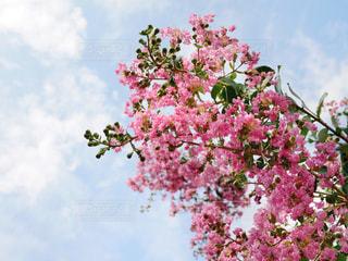 植物のピンクの花の写真・画像素材[2414750]