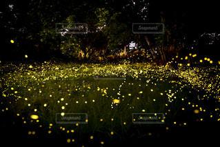 幻想的な姫蛍の写真・画像素材[1213696]