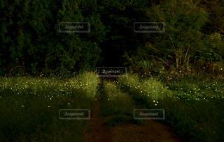 2019 ヒメボタルの写真・画像素材[2164225]