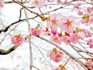 桜🌸の写真・画像素材[649192]