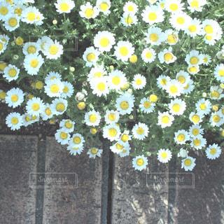 マーガレットの花壇の写真・画像素材[742709]