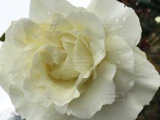 花の写真・画像素材[650758]