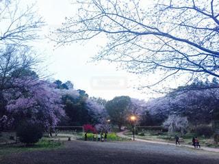 桜の写真・画像素材[651571]