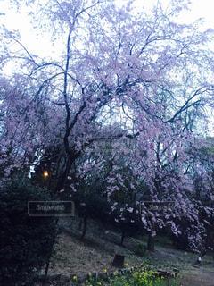 桜の写真・画像素材[651572]