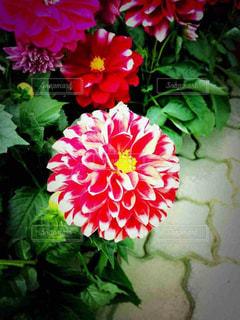 丸い花の写真・画像素材[816325]