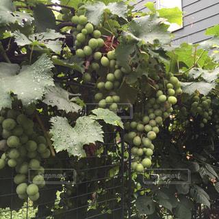 たわわな葡萄の写真・画像素材[754099]