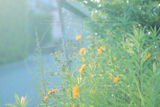陽だまりの黄色い花の写真・画像素材[1234762]
