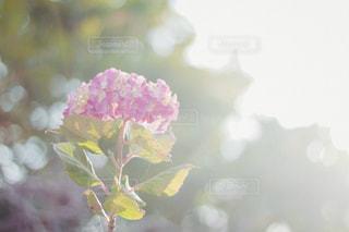 陽だまりに咲くあじさいの写真・画像素材[1234763]