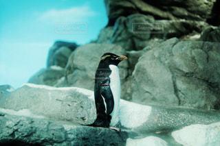 一匹のペンギンの写真・画像素材[1839003]