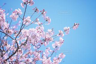 桜と青空の写真・画像素材[2057824]