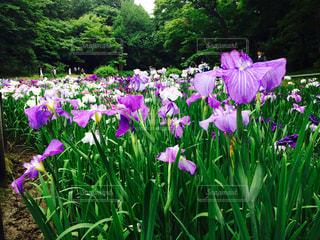 紫色の花一杯の花瓶の写真・画像素材[752492]