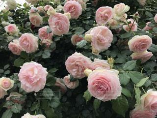 花の写真・画像素材[652916]