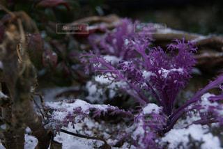 ピンクの花は雪の中に立っています。 - No.719864