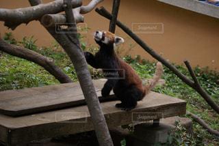 枝の上に座ってパンダの写真・画像素材[719868]