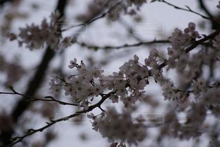 桜の写真・画像素材[719872]