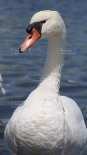 近くに水の体の横にある白鳥のアップの写真・画像素材[1610273]