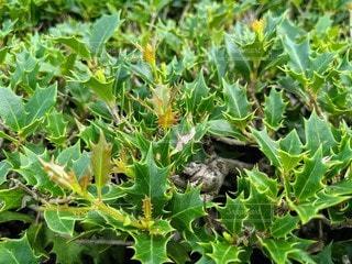 ヒイラギの葉の写真・画像素材[2431461]