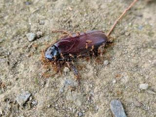 蟻に食べられるゴキブリの写真・画像素材[2593159]