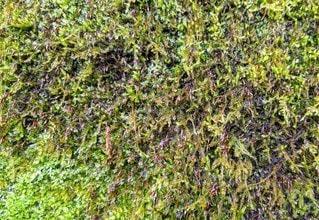 奥多摩の壁のコケの写真・画像素材[2876444]