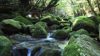 もののけの森の写真・画像素材[1526992]
