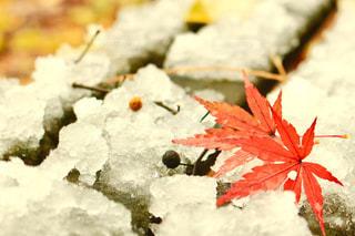 紅葉×雪の写真・画像素材[1602089]