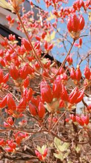 植物の赤い花の写真・画像素材[1192296]