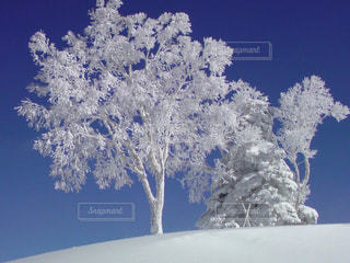 雪を纏った木の写真・画像素材[715903]