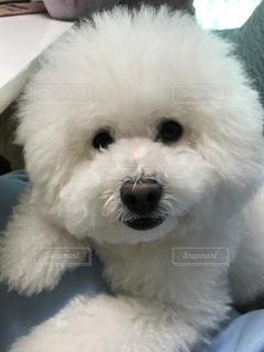 白いモフモフの犬の写真・画像素材[716253]