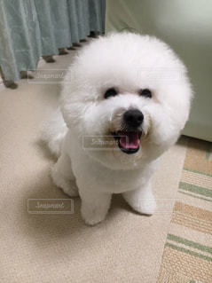 笑う小さな白い犬。の写真・画像素材[717148]