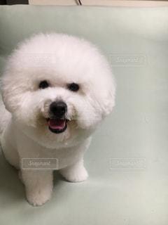 小さな白い犬の写真・画像素材[729247]