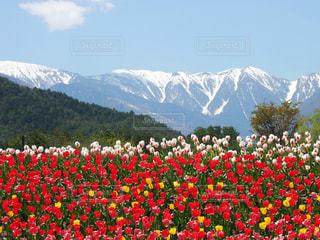 チューリップと山脈 - No.781603
