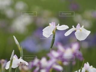 菖蒲の写真・画像素材[657558]