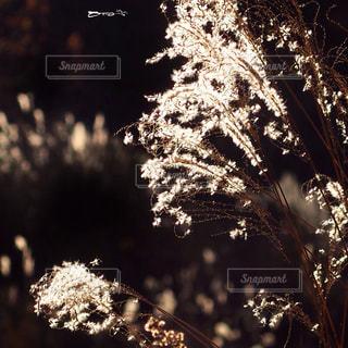 ススキの写真・画像素材[658705]