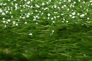 水草の写真・画像素材[657338]