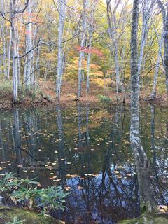 池に映る樹の写真・画像素材[1512866]