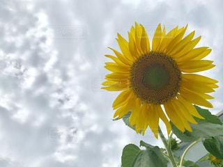 黄色い花の写真・画像素材[2417531]
