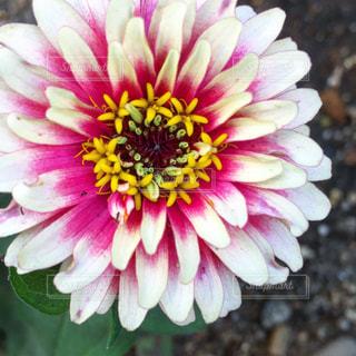 花の写真・画像素材[661421]